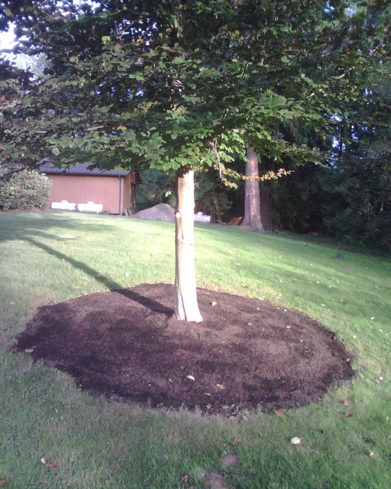 Our composted Fine Bark Mulch being used fo ring a tree in city park